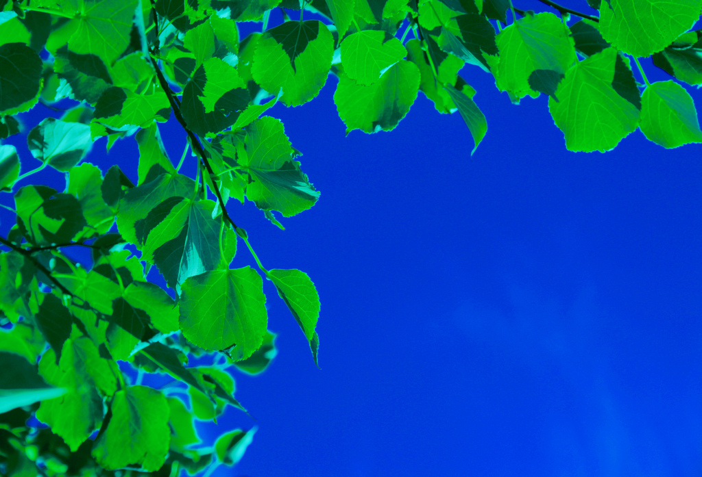 Crisp green leaves framing the picture-perfect blue sky