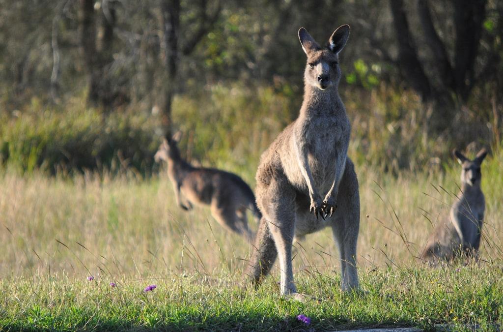 Pat a Kangaroo on Australia Day!
