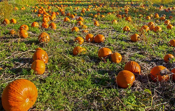 field of orange pumpkins