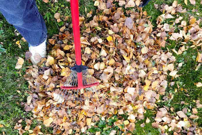 person using rake to gather dry leaves
